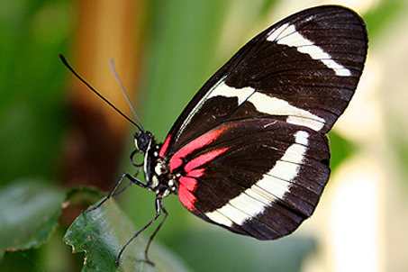 A very dainty looking butterfly sticking her tongue out