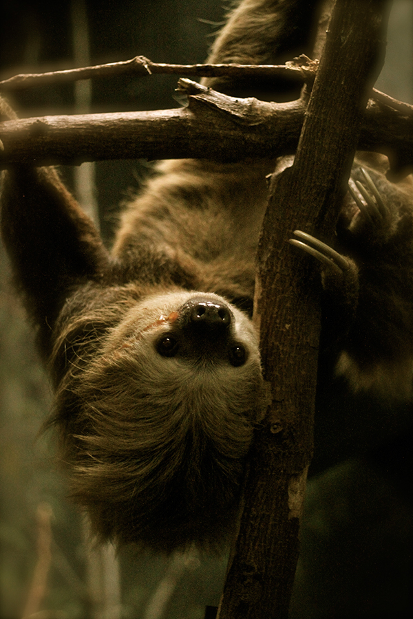 A Curious Sloth Hangs from His Branch