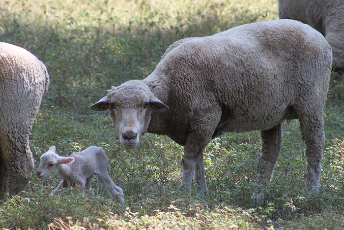 An unexpected treat—a one-day-old lamb on the farm!